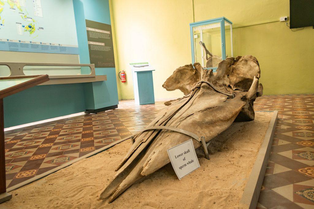 Balaine - Musée de l'histoire naturel.jpg