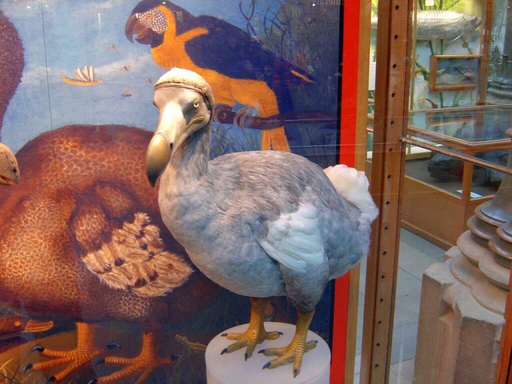 musée d'histoire naturel - le dodo