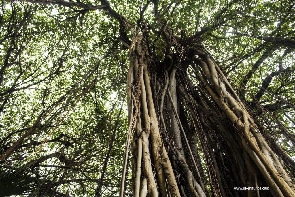 Jardin de la compagnie à Port Louis - arbres